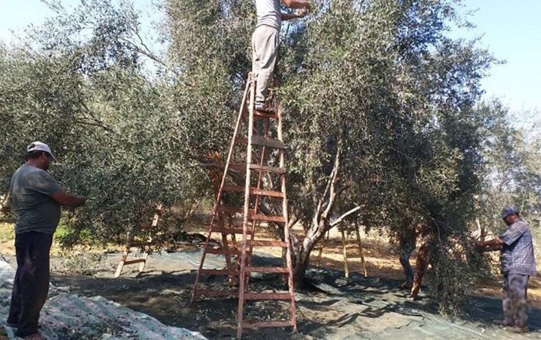 لماذا استحقت شجرة الزيتون يوماً عالمياً للاحتفاء بها؟